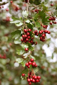 Hawthorn - not the berries tho Red Berries, Winter Berries, Autumn Garden, Small Gardens, Hedges, Mother Earth, Floral, Flowers, Inspiration