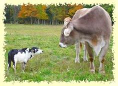 My future black and white, full grown miniature steer with his standard counterpart.