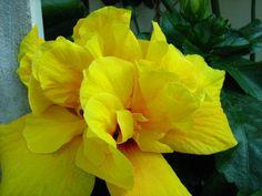 Picture 029 - Hibiscusi 2011