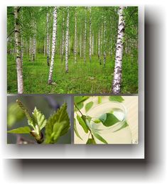 Plante medicinale – MESTEACĂNUL Healing, Medicine, Varicose Veins, Plant