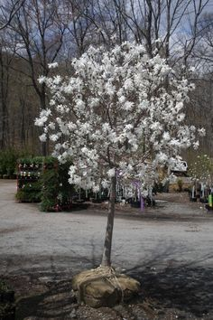 Magnolia stellata 'Royal Star':  The Star Magnolia is a slow growing tree native to Japan. It bears large, showy white or pink flowers in early spring. The leaves open bronze-green, turning to deep green as they mature, and yellow before dropping in autumn.