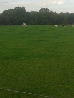 19okt en doe koeien staan nog lekker in de zon