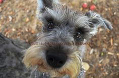 awww my baxter boy!!! I need a mini schnauzer... my life will not be ok until I get another one