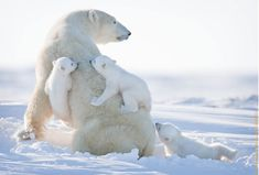 It's unusual for female polar bears to weigh enough to have triplets, so this is a rare and beautiful sight to glimpse in the wild.