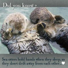 Sea otters hold hands when they sleep so they don't drift away from each other. So so Cute xx www.SecretFashionFixes.com