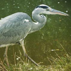 Attacking #heron #London