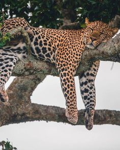 Unlike lions or hyenas, leopards find safety high up in trees where its enemies can Nature Animals, Animals And Pets, Funny Animals, Cute Animals, Big Cats, Cats And Kittens, Cute Cats, Ragdoll Kittens, Tabby Cats