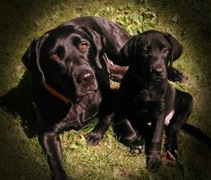 Dixie and Moxie * Mother and Daughter * Black Labs