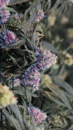 .:.:.:.:.:.KUSH.:.:.:.:.:. purple flower #marijuana #legalize #peace
