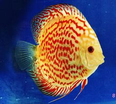 Red Spotted Saffron Discus    More discus info: http://rockymountaindiscus.com/Discus_Fish_Care.htm