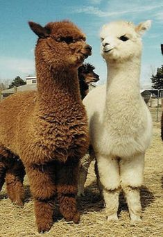 Funny llama Alpaca Pictures Hilarious Make You Smile - - I don't feel great. It is because the Alpacas were being so fabulous.Alpaca cat with me. What are you bringing? Alpacas Cool Faces Want a Alpaca Gifts? Shop Now. Alpacas, Cute Alpaca, Llama Alpaca, Alpaca Funny, Baby Alpaca, Cute Little Animals, Cute Funny Animals, Alpaca Pictures, Pictures Of Llamas