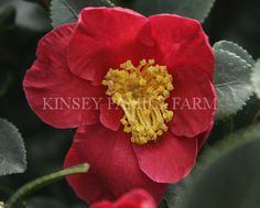 'Yuletide' Camellia Sasanqua. Red single, yellow centers. Late fall blooming. Kinsey Family Farm Gainesville, GA.