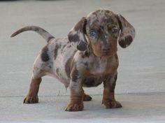 this is an adorable puppy. he's a dapple dachshund.