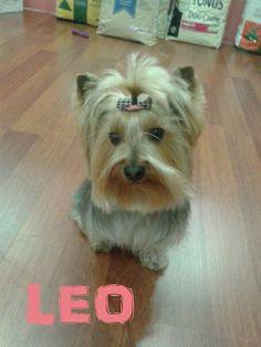 Leo en otra de sus visitas.. ¡¡es un cliente fiel :)!! #mascotas #peluqueriacanina #granada #perros #yorkshire