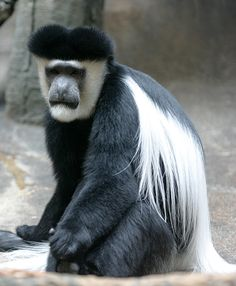 Mantled guereza (Colobus guereza), also known simply as the guereza, the eastern black-and-white colobus, or the Abyssinian black-and-white colobus, is a black-and-white colobus, a type of Old World monkey. It is native to much of west central and east Africa. It has a distinctive appearance which is alluded to in its name; the long white fringes of hair the run along each side of its black trunk are known as a mantle. Its face is framed with white hair and it has a large white tail tuft.