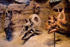 Ceratopsian skulls. Image credit: Carnegie Museum of Natural History.