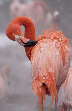 The Smithsonian's National Zoo flamingo flock enjoys their heated pond during Washington's first snowfall on Jan. Pretty Birds, Love Birds, Beautiful Birds, Animals Beautiful, Cute Animals, Birds Pics, Wild Animals, Baby Animals, Flamingo Photo