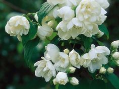 These fragrant shrubs are a breath a fresh air. Flip through this gallery from HGTV Gardens to find the best shrubs for your landscape.