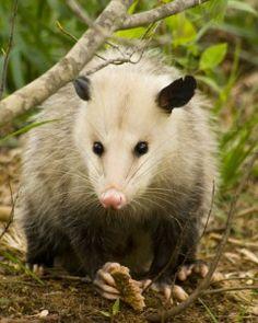 possum face