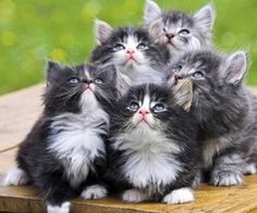 You see cute kittens. I wonder what will happen to them when they're not cute kittens anymore. Cute Kittens, Fluffy Kittens, Persian Kittens, Cats And Kittens, Fluffy Cat, Siberian Kittens, Kitten Wallpaper, Tier Wallpaper, Animal Wallpaper