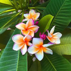CUTTING-OF-PLUMERIA-HAVE-ROOT-PEACHSPENDER-NEW-RARE
