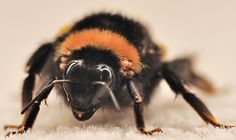 queen bumble bees pictures | Bumble bee being eaten by parasites