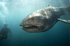 Megamouth shark (Megachasma pelagios). Since its discovery, in 1976, only 9 megamouth sharks have been seen with 50 specimens known to have been caught or sighted as of 2010 (source: wikipedia)