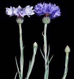 Color azul. Con Aciano, Centaurea cyanus, es una planta anual nativa de Europa, con flores de color azul intenso. También se sabe que el botón Batchelor o botella azul. Como una especie de flores silvestres nativas, ahora está en peligro debido al crecimiento agrícola. Sin embargo, se ha cultivado para convertirse en un jardín de flores en lugar común.  Para crear un baño de tinte, los pétalos se hierven con alumbre en el agua.