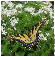 Female Eastern Tiger Swallowtail on penta.