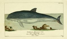 "Dolphin Antique Engraving Print  giclee reproduction of antique engraving.  Beautifully framed wall art in 5/8"" period appropriate thin wood frame. Made in USA by Museum Outlets"