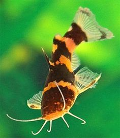 Want to learn more about Bumblebee Catfish? Check out the Bumblebee Catfish Wiki and if they are right for your aquarium. Bumblebee Catfish for sale Tropical Freshwater Fish, Tropical Fish Aquarium, Freshwater Aquarium Fish, Saltwater Aquarium, Aquarium Pump, Catfish For Sale, Aquarium Catfish, Paludarium, Colorful Fish