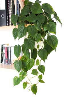 Philadendron Plant, Plant Leaves, Philodendron Scandens, Low Light Plants, Plant Aesthetic, Plants Are Friends, House Plants Decor, Interior Plants, Plant Illustration