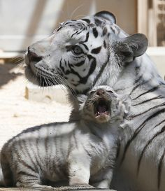 A 7-year-old white tiger sits with one of her cubs at Tobu d35d7b880d3f