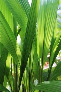 Setaria palmifolia - pampas2palms