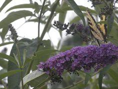 Butterflies in the yard