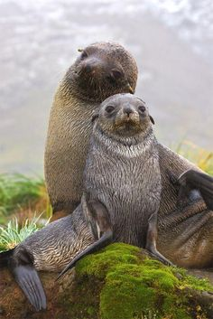 Antarctic fur seals, Fortuna Bay, South Georgia