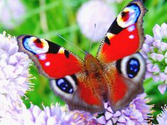 Peacock butterfly (Inachis io, sin. Nymphalis io)