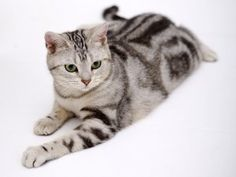 Learn everything about American Shorthair Cats. Find all American Shorthair Cat Breed Information, pictures of American Shorthair Cats, training, photos and care tips. American Wirehair, American Bobtail Cat, Grey Cat Breeds, Small Cat Breeds, Grey Kitten, Grey Cats, Black Cats, Fluffy Kittens, Cats And Kittens