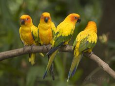 Captive Sun Parakeets