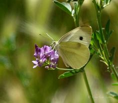 Butterfly Photography creamy lemon yellow by CheyAnneSexton