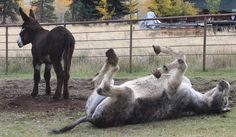 This year, #WorldDonkeyDay is a FRIDAY, so kick up your heels and have some fun!  Stop by and say hi to Hank and Farley on your way up the mountain.  Missoula, Montana Blue Mountain Bed and Breakfast. Mammoth riding donkeys are too much fun.