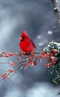 Male Northern Cardinal on holly branch in snow...