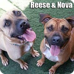 3/20 WAITING! 2/22 Still waiting! 2/2 Adopt Nova! 1/3/16 NOVA is STILL WAITING! Encino, CA - Boxer Mix. Meet Nova, a dog for adoption. http://www.adoptapet.com/pet/12365999-encino-california-boxer-mix
