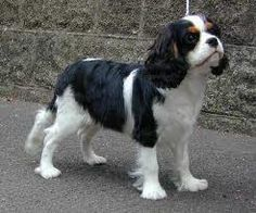 cavalier king charles spaniel tricolor