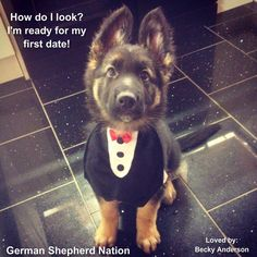 The cutest german shepherd puppy pic I've seen! Saw this on German Shepherd Nation on Facebook and fell in love with this little guy, totally need to get Ozzie a tux.