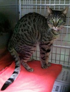 *Urgent* Meet Danny A4537236 Handsome Bengal kitty at Baldwin Park, CA shelter wants to live! Rescue needed asap please!  Danny the Bengal kitty is at Baldwin Park Shelter (Los Angles, CA) & loves it when people pay attention to him! Regrettably, Danny is a little short of time - on earth & he really needs your help So-Cal friends! Makes his day & yours & get him out of there asap! URGENT PLEASE!!