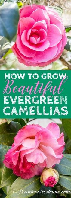These tips on how to grow Camellia shrubs in your garden are AWESOME! I love the beautiful pictures and learned a lot about planting and pruning #Camellias. #camelliaflower #camelliashrub #shadeshrubs