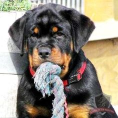 Happy #Rottweiler doesn't share his #toys