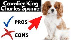 King Charles Spaniel, Cavalier King Charles, Dog Training Courses, Zoo Keeper, Free Dogs, Cocker Spaniel, Good Things, Youtube, Beautiful