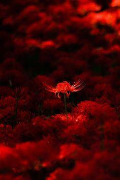 """ her Little secret "" Dark Red Wallpaper, Lily Wallpaper, Scenery Wallpaper, Red Spider Lily, Beautiful Flowers, Beautiful Pictures, Red Pictures, Red Images, Aesthetic Colors"